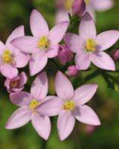 Deva Flower Essence - Centaury