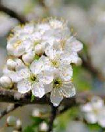 Deva Flower Essence -  Cherry Plum