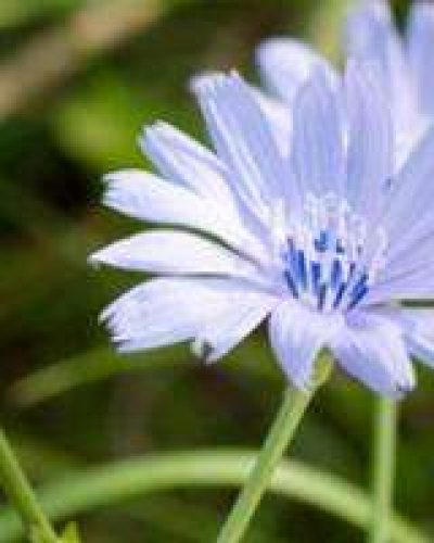 Deva Flower Essence - Chicory