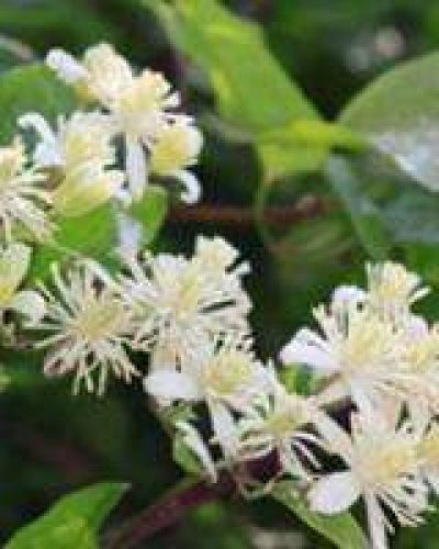 Deva Flower Essence - Clematis