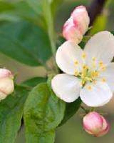 Deva Flower Essence - Crab Apple