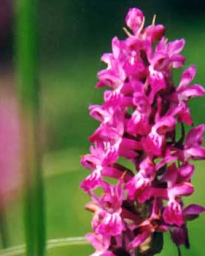 Himalayan Flower Enhancers - Astral Orchid
