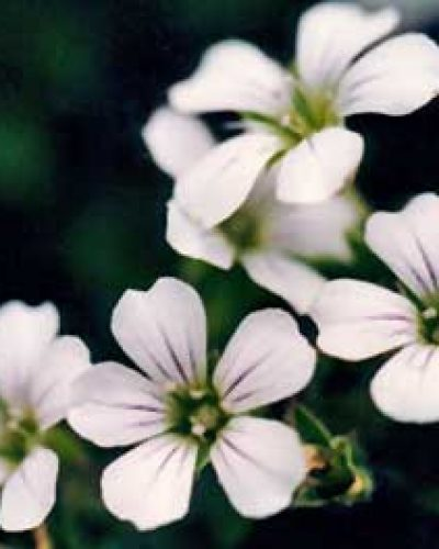 Himalayan Flower Enhancers - Aura Cleaning