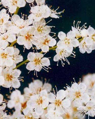 Himalayan Flower Enhancers - Champagne