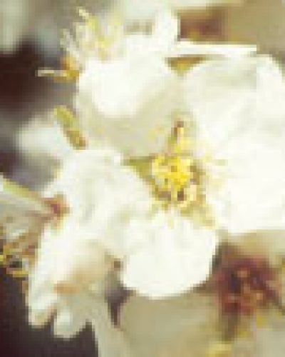 Spirit in nature essence - Almond Blossom