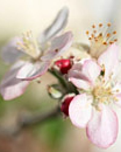 Spirit in nature essence - Apple Blossom