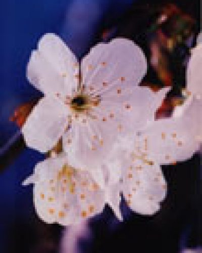 Spirit in nature essence - Cherry Blossom